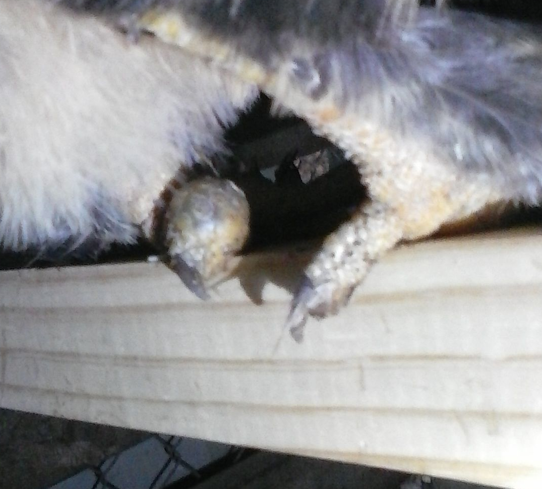 casportpony's photos in Is this bumble foot?