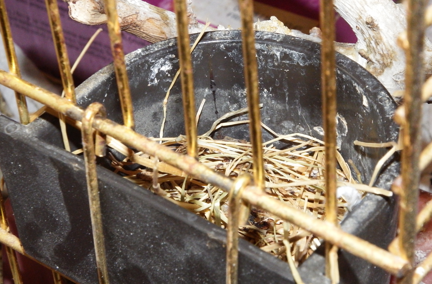 It is me again, and my doves are nesting in their food bowl now.