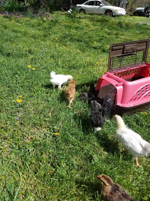 wvchickmom's photos in New chicken momma from WV