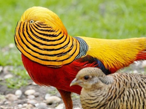 Splash golden pheasant - photo#10