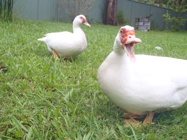 ancona ducks australia