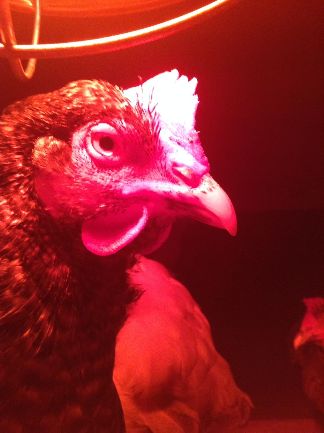 Hens rule profile picture