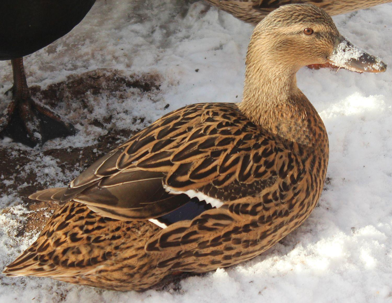 Spyderk117's photos in My ducks first snow!