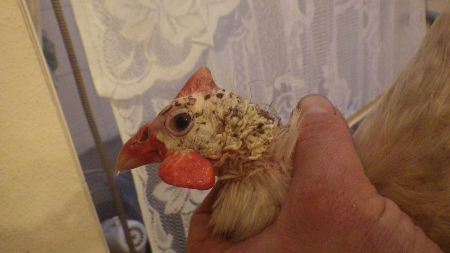 sirrobyn0's photos in What do you think happened to this Guinea Fowl