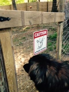 Our Leonberger, Chewie, checking out his new pals wondering how to get in there.