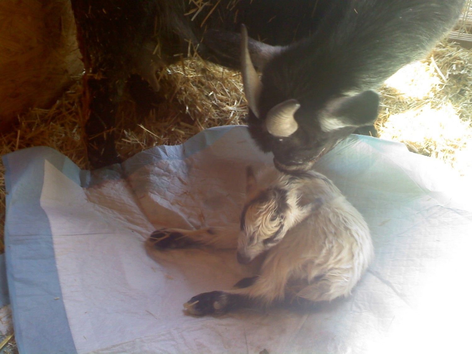 The Wolf Queen's photos in ~***~TigerLily Trail's 2012 Foaling & Kidding Thread~***~ PICS of Zoe's Bucks Pg 7 Post #65
