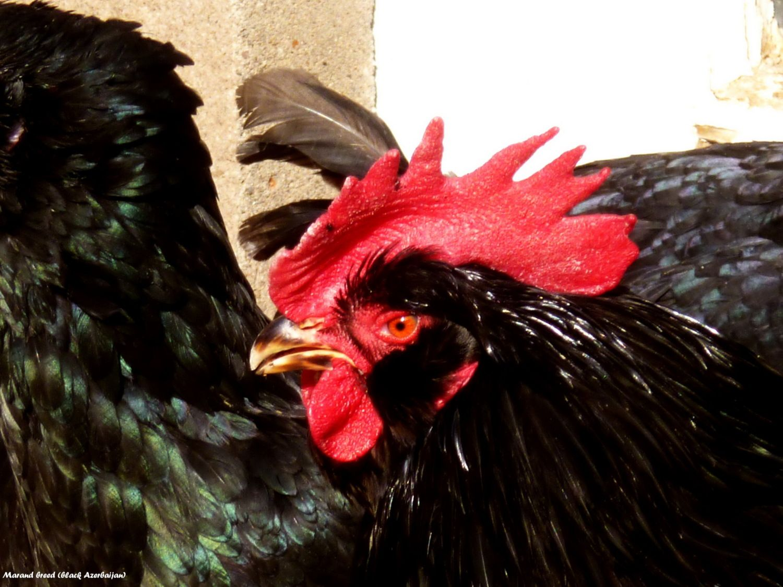 Azerbaijan marand  breed