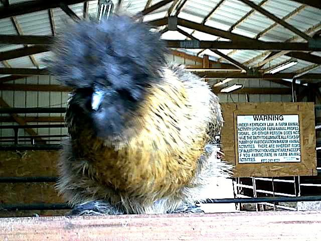 cluckfan's photos in Silkie Thread! Talk about your Silkies and post pics of your Silkies