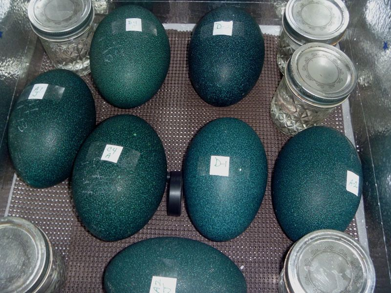 7 emu eggs in modified LG.jpg