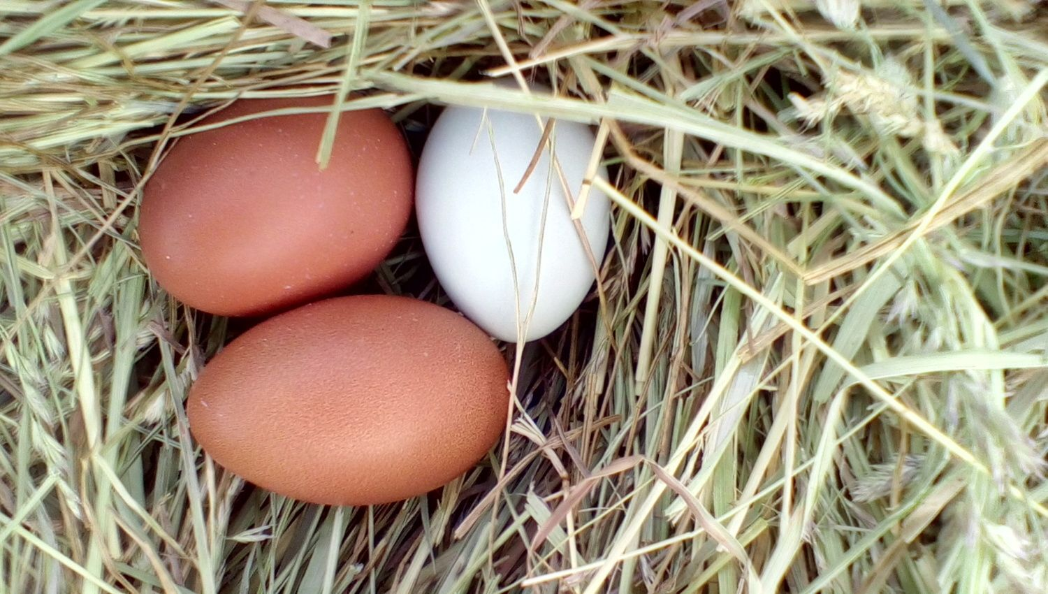 donrae's photos in Pictures of your marans eggs!!!