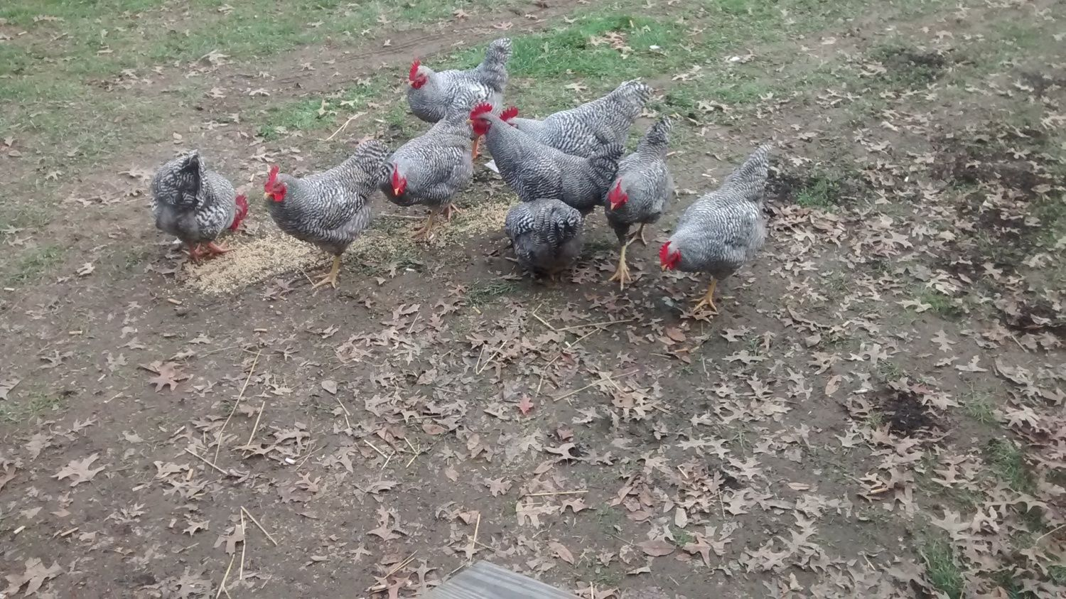 My barred rocks. Pretty sure they're all male