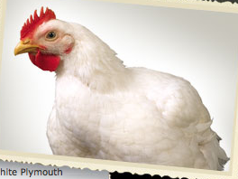 Heritage White from S&G Poultry