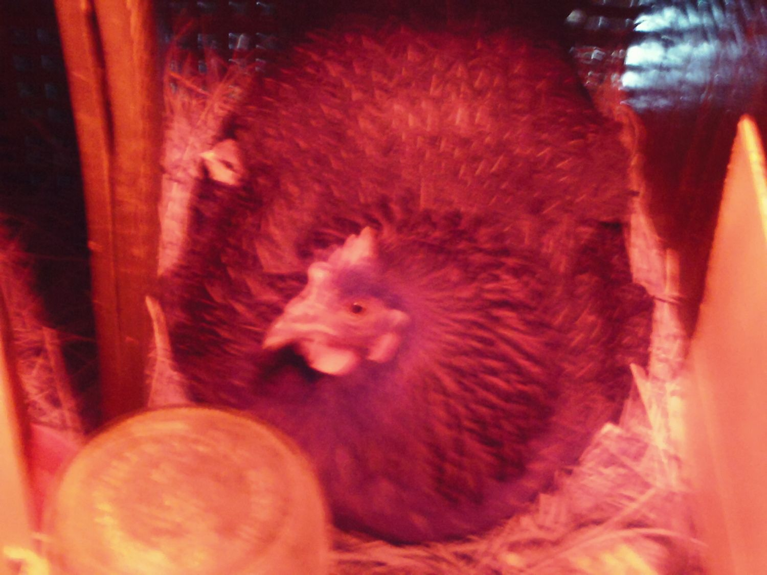 HenOnAJuneBug's photos in Contest #3 Cutest Baby Fowl - 8th Annual BYC Easter Hatchalong