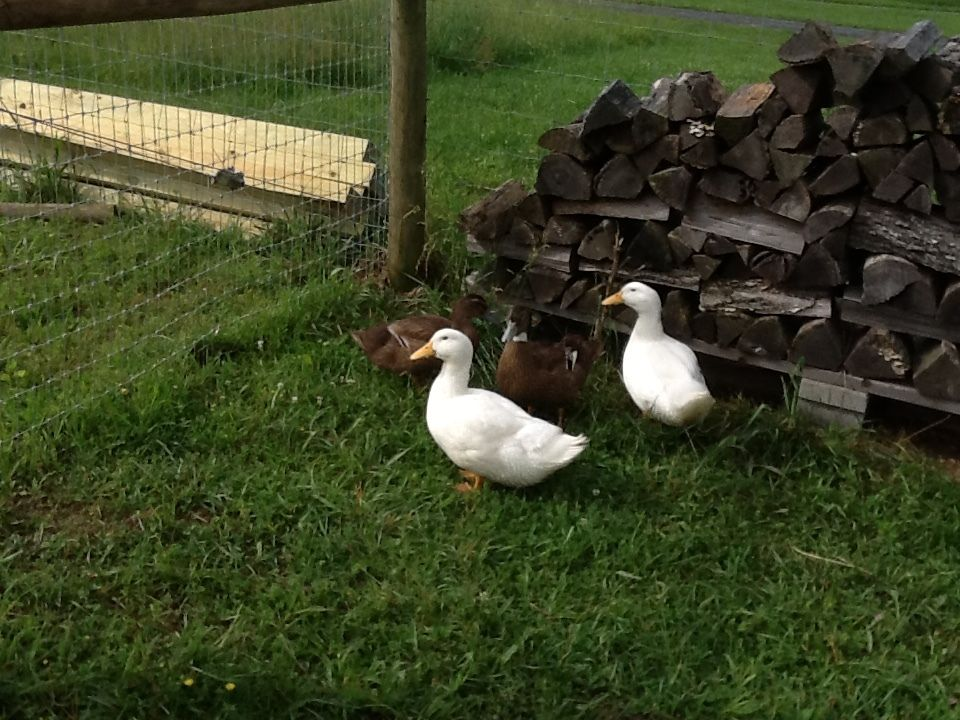 Poultry parent's photos in can anyone tell what breed of duck this is?