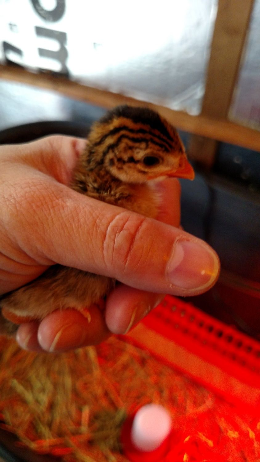 Baby guinea, 4 days old, 8/22/15