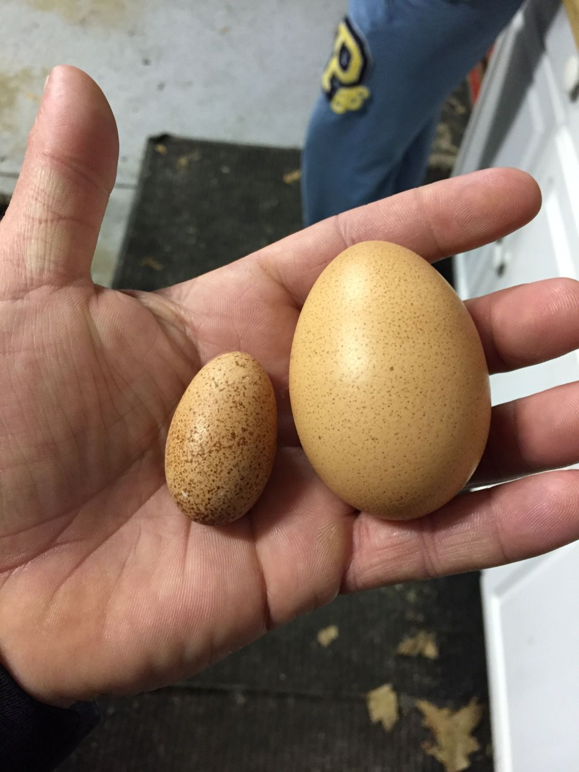 ScottN73's photos in What's the youngest a pullet can lay an egg?
