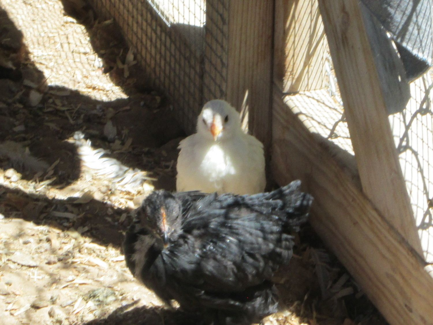 Cynthia12's photos in Giant Blue Cochins purchased, maybe bantams? What size should they be?