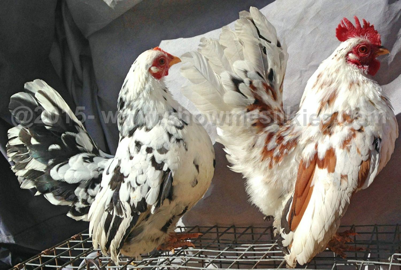 showmesilkies's photos in Serama Hatching Eggs