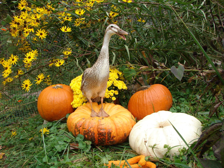 I love fall.  QUACK!  I love fall.  QUACK!  I love fall.