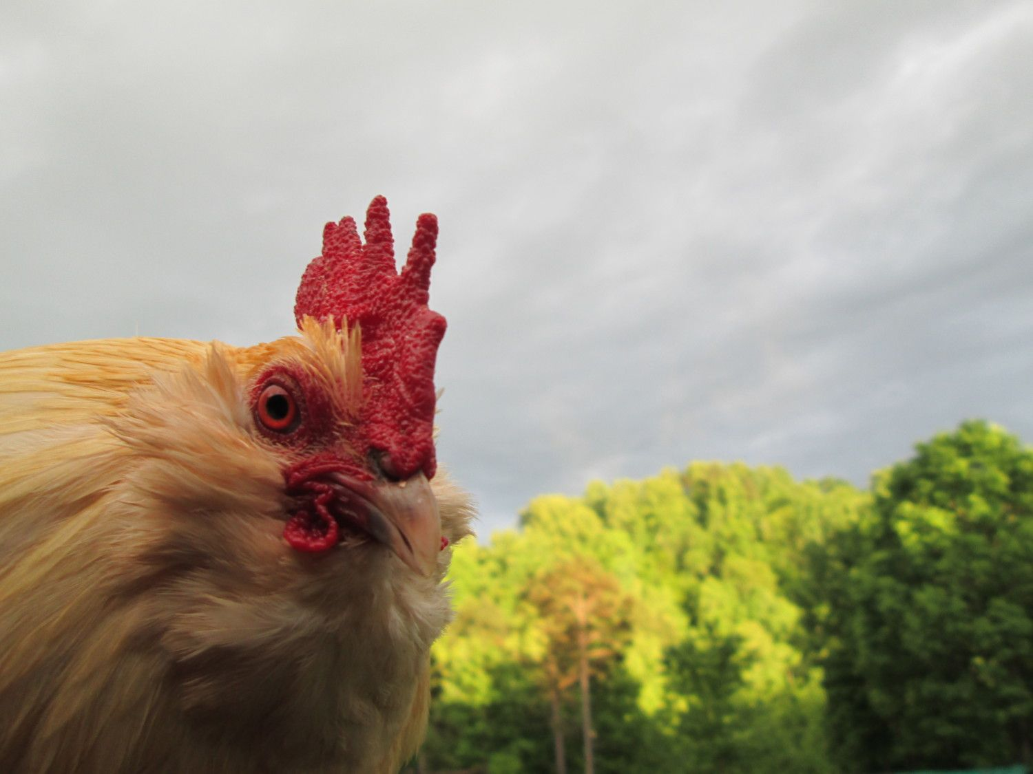 """mymilliefleur's photos in """"Poultry HEAD SHOTS Contest"""" MAY~Land of the Free Because of the Brave HAL w/hosts Mike & Sally"""