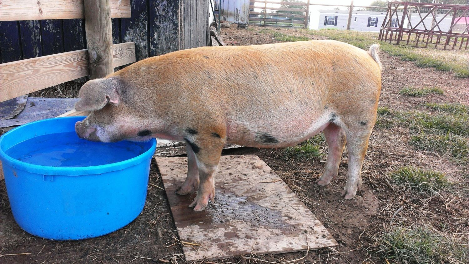 AlienChick's photos in Pig waterer