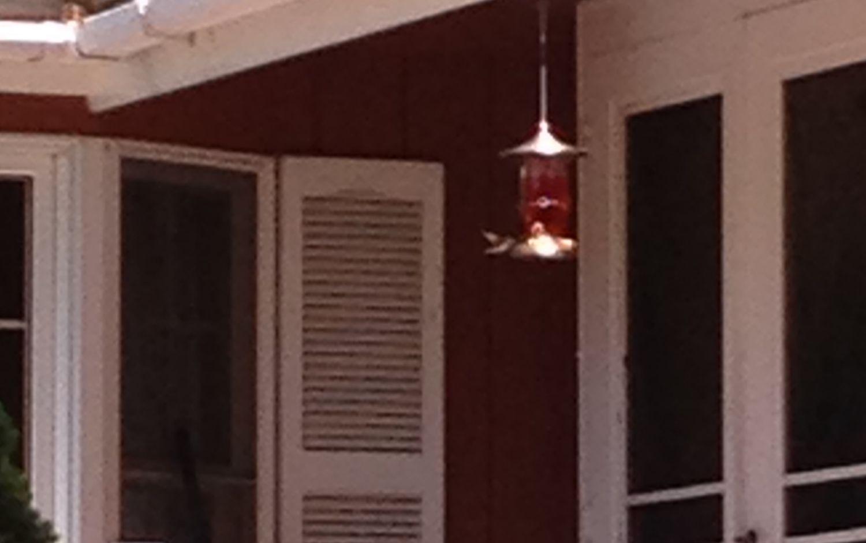 chicken pickin's photos in The Hummingbird Haven