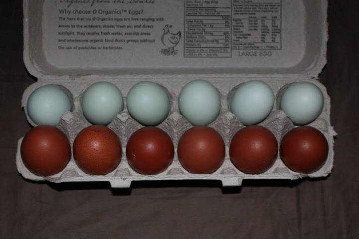 Frost Homestead's photos in For a dark egg layer, which would you recommend and why: Welsummer vs. Barnvelder vs. Marans