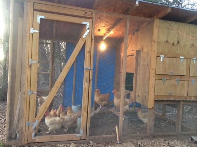 My Braggs Mountain Buffs in their coop.