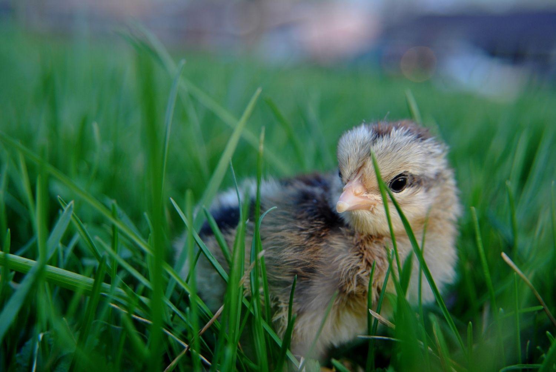 chickfinal01.JPG