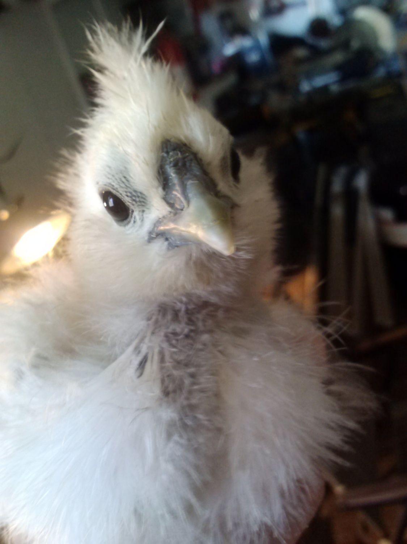 My Silkie Chick, Polar
