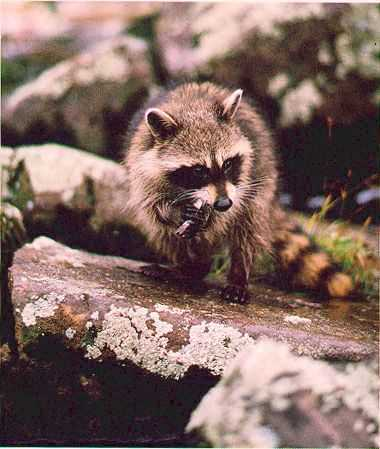 Beautiful raccoon...