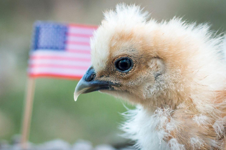 http://cdn.backyardchickens.com/9/9e/9e1f08b1_chickenchicktrumpMarch2016-9.jpeg