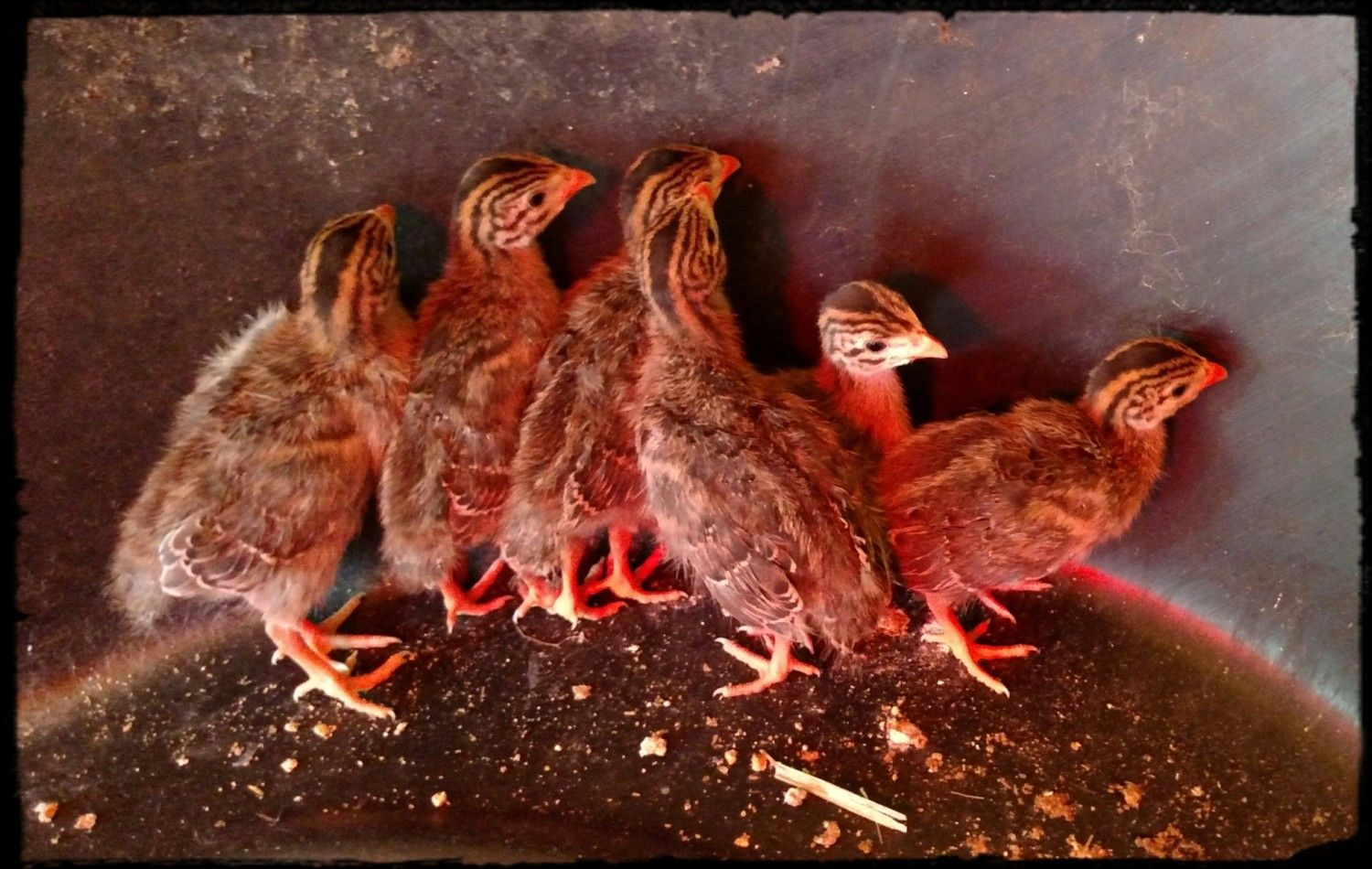 13 days old... look ma...we're getting feathers!!