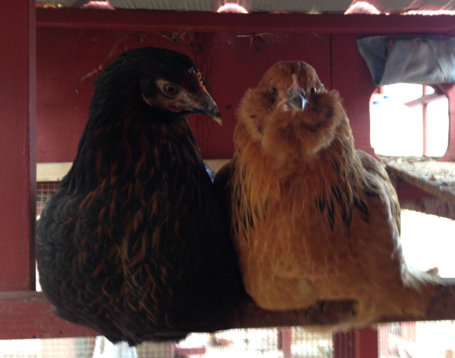 Residents 9 and 10: Phyllis Jr (black sex link) and Charlie the Easter Egger (she looks so funny so I named her Charlie). I got Charlie from a farmer in exchange for Aztec the rooster (aka Tio, who was supposed to be Tia...) and she was too small to integrate into the flock. The flock was mean to her and she was terrified. I had to keep her in separate quarters until she was full-grown. She was lonely in her separate coop/run, so I got her a friend....this black sex link of the same age.