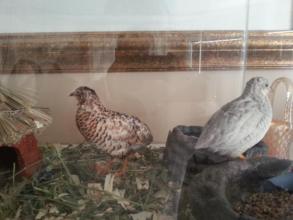 SouthernAlberta's photos in Button Quail not laying