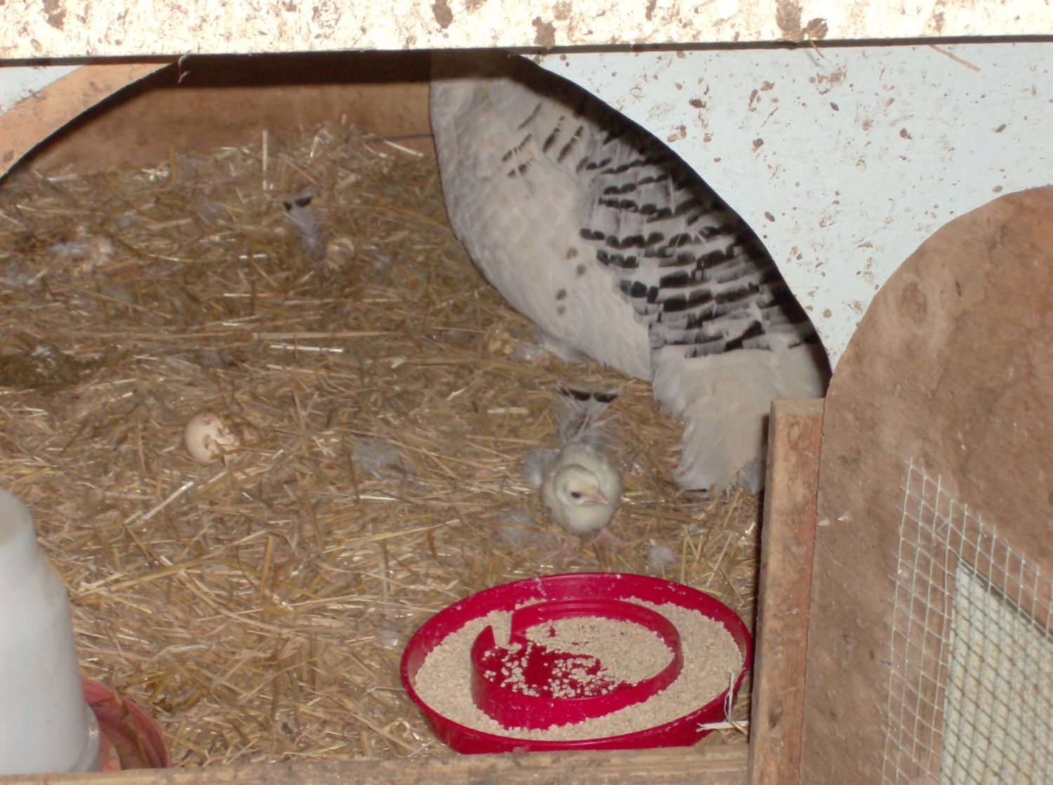 20736's photos in Royal Palm Turkeys Hatching Today