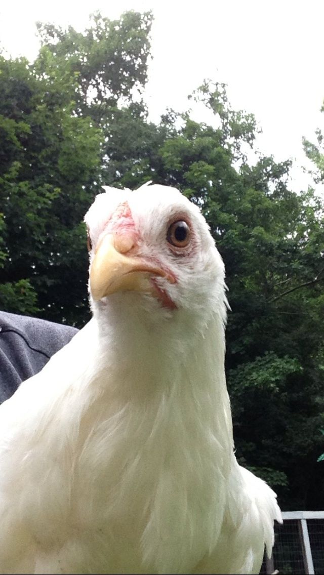 ScottN73's photos in What breed is this chicken?!?