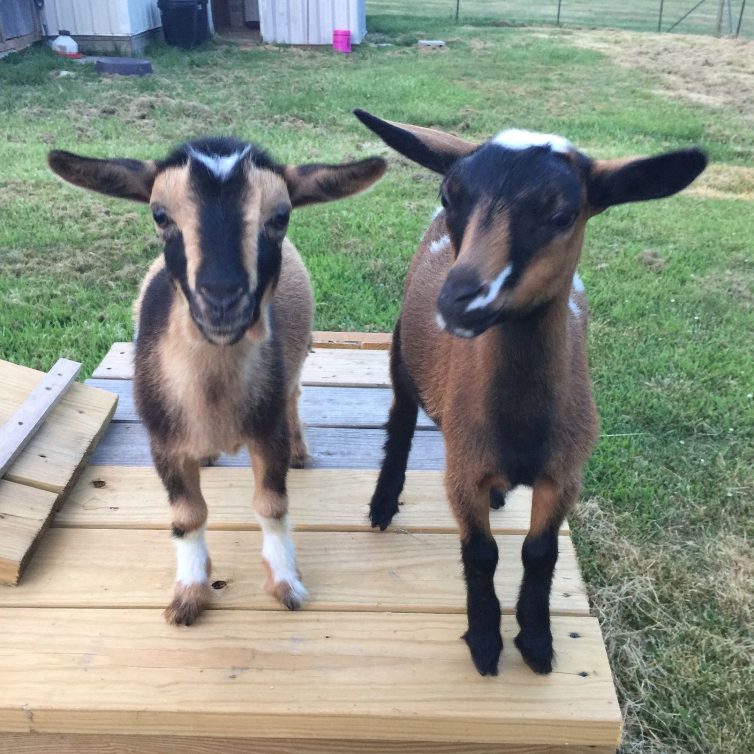 LRH97's photos in Goats (pictures, stories, tips, etc.)