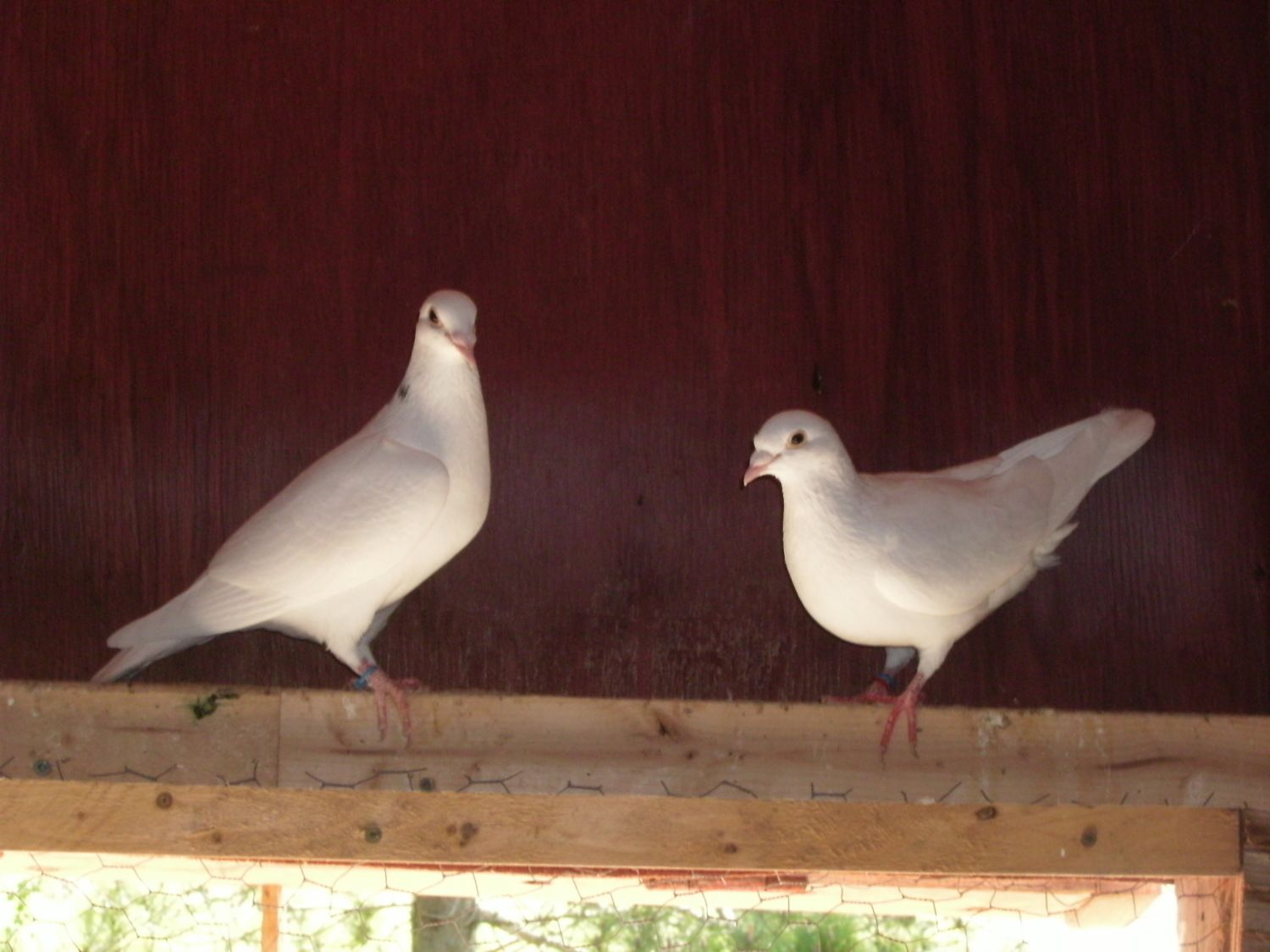 White homing pigeons are muscular athletes able to fly hundreds of miles to find home. My blood line originate from Belgium and I would want $150.% each for a banded young bird.