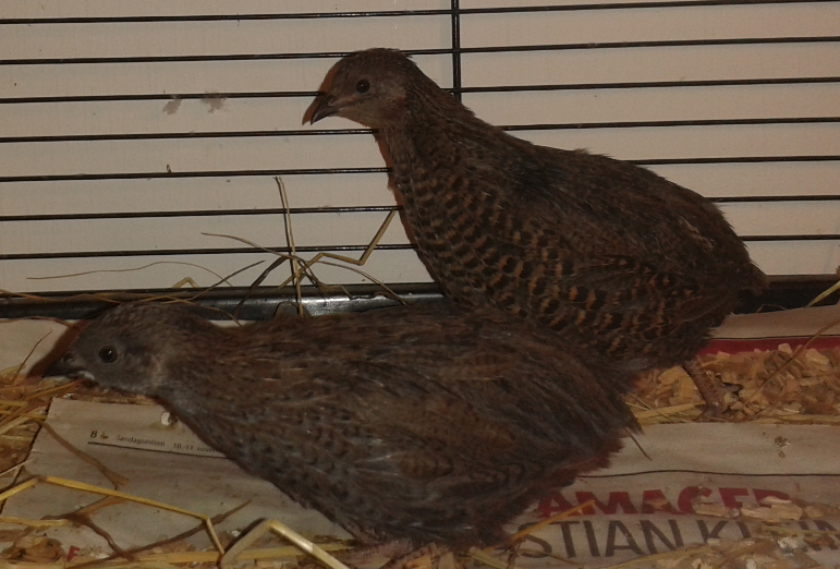 Is My King/Button Quail a Double Blue Face?