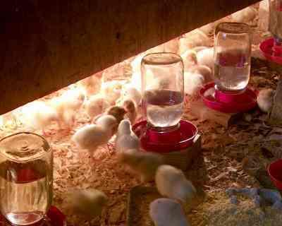chicks_brooder.jpg