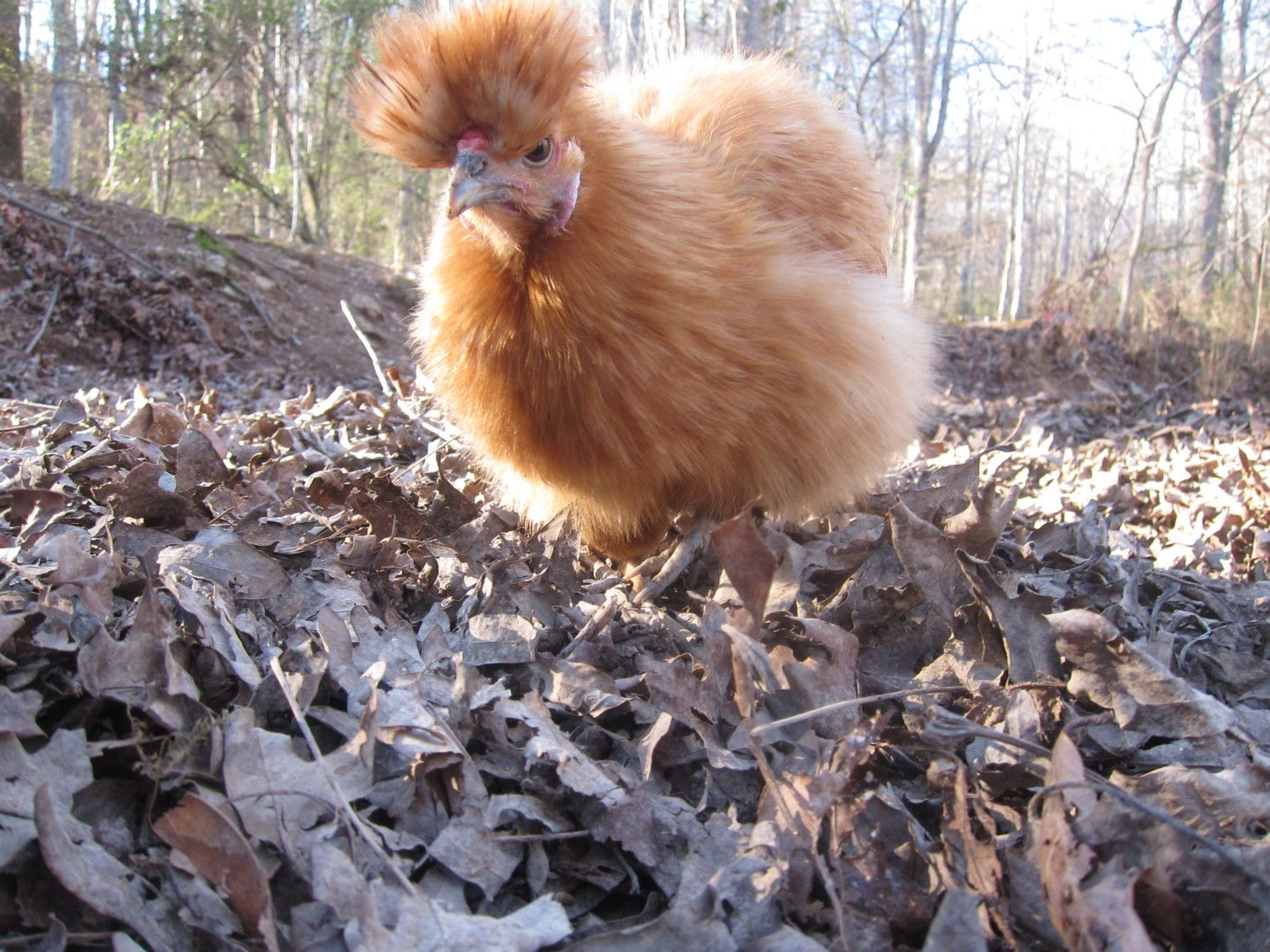 RodNTN's photos in Silkie Afro Contest Ends April 1 2017
