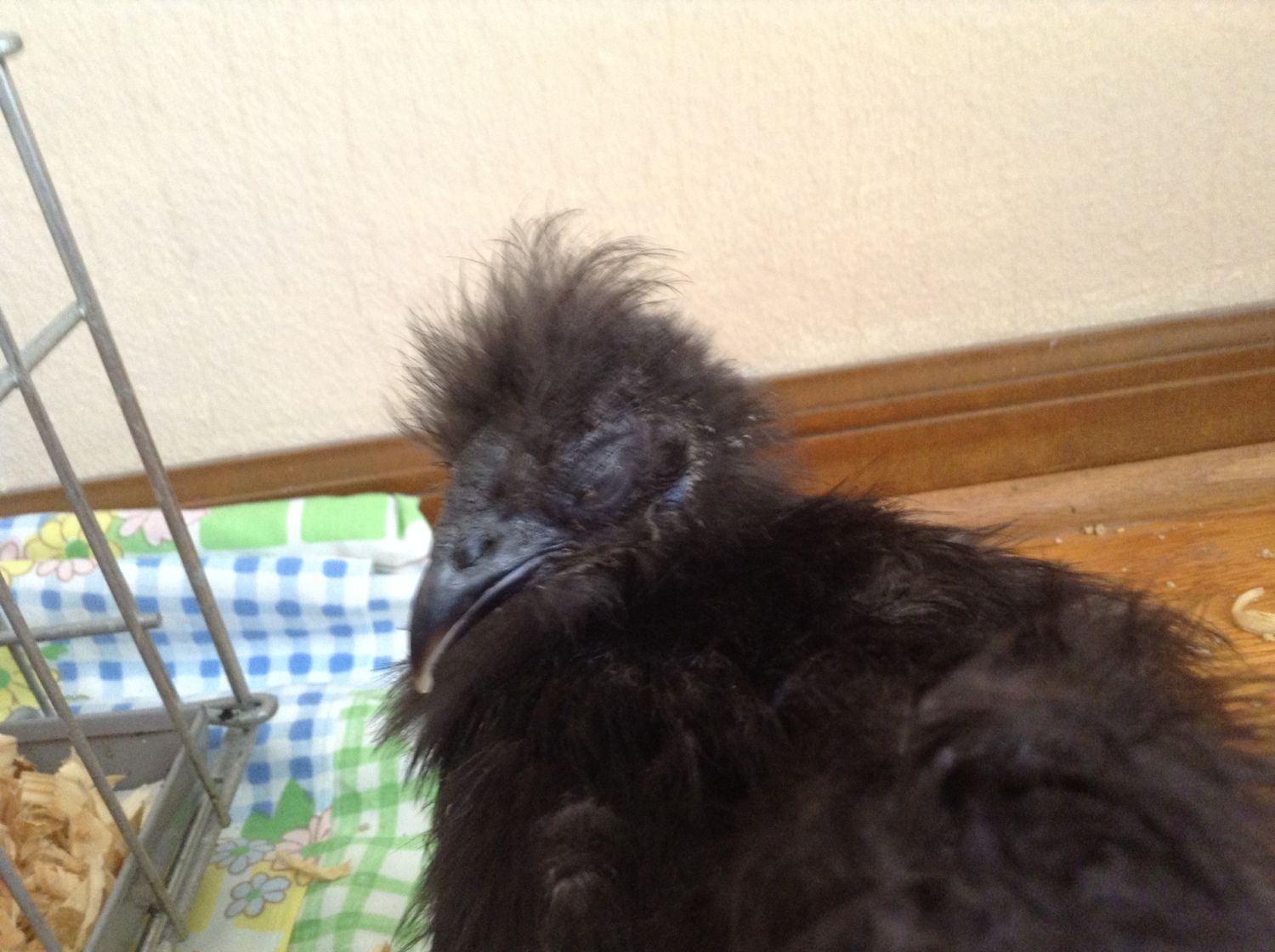 jha31452's photos in Silkies rescued, sickly, and weak.