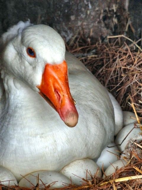 White Embden Geese