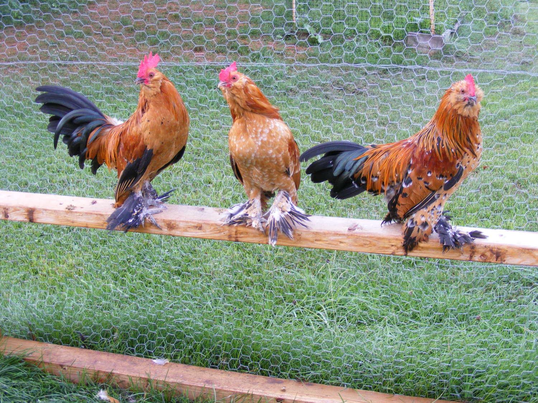 Mille Fleur roosters