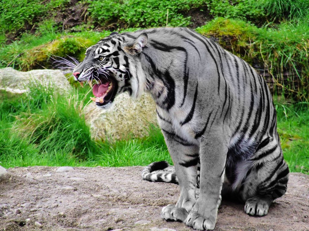 Chickenfan4life's photos in ~Tiger Wars~RP *Accepting Players!*
