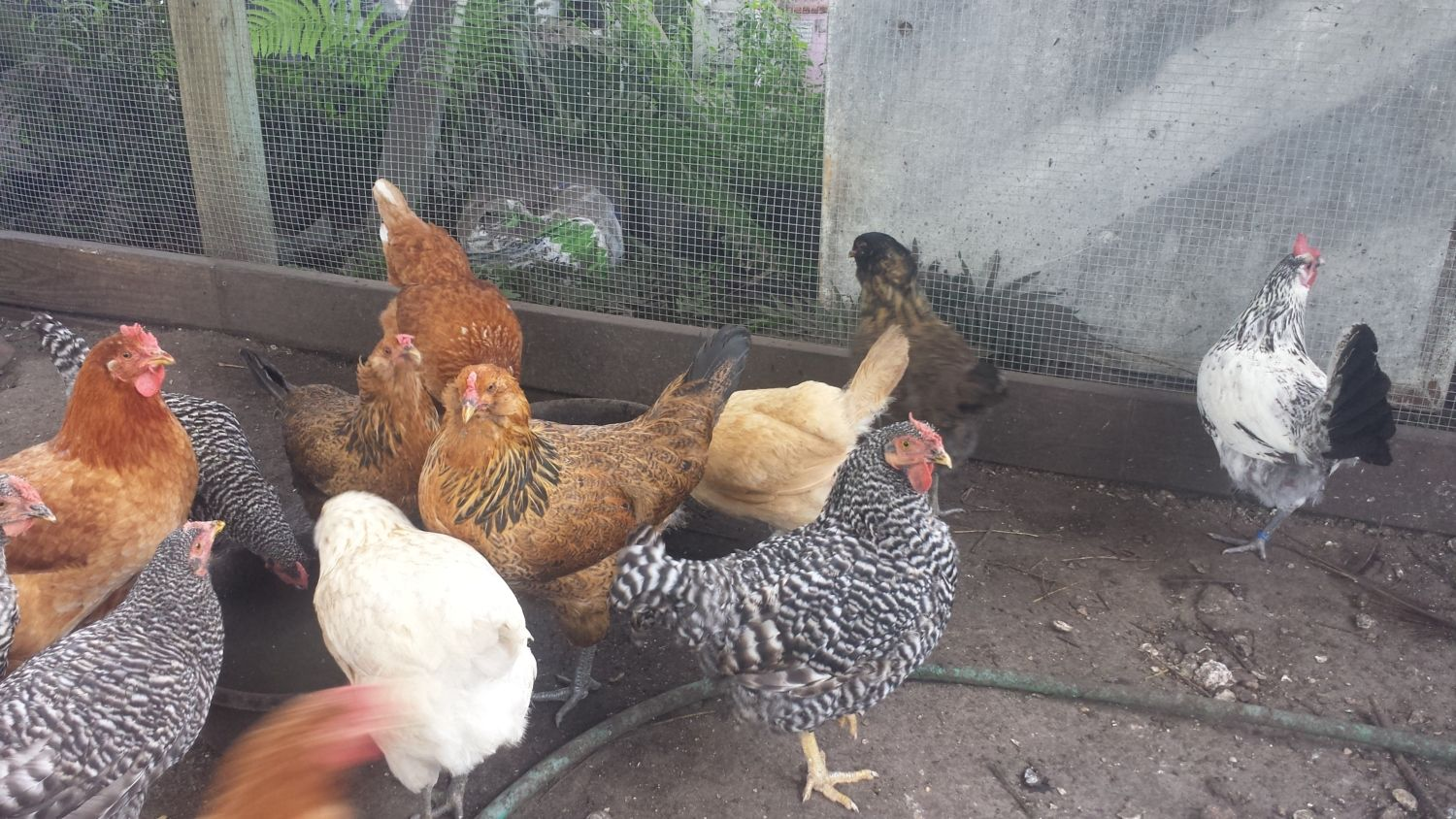 Flock 4 - most of the hens are about 1 year old.  No roosters in this flock.