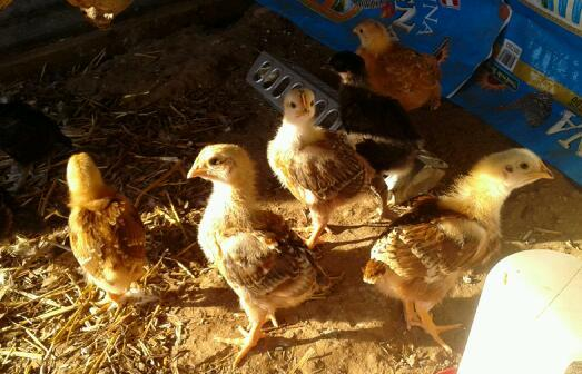 OffGridMAMA's photos in Getting the flock out of here - a diary of a crazy chicken man