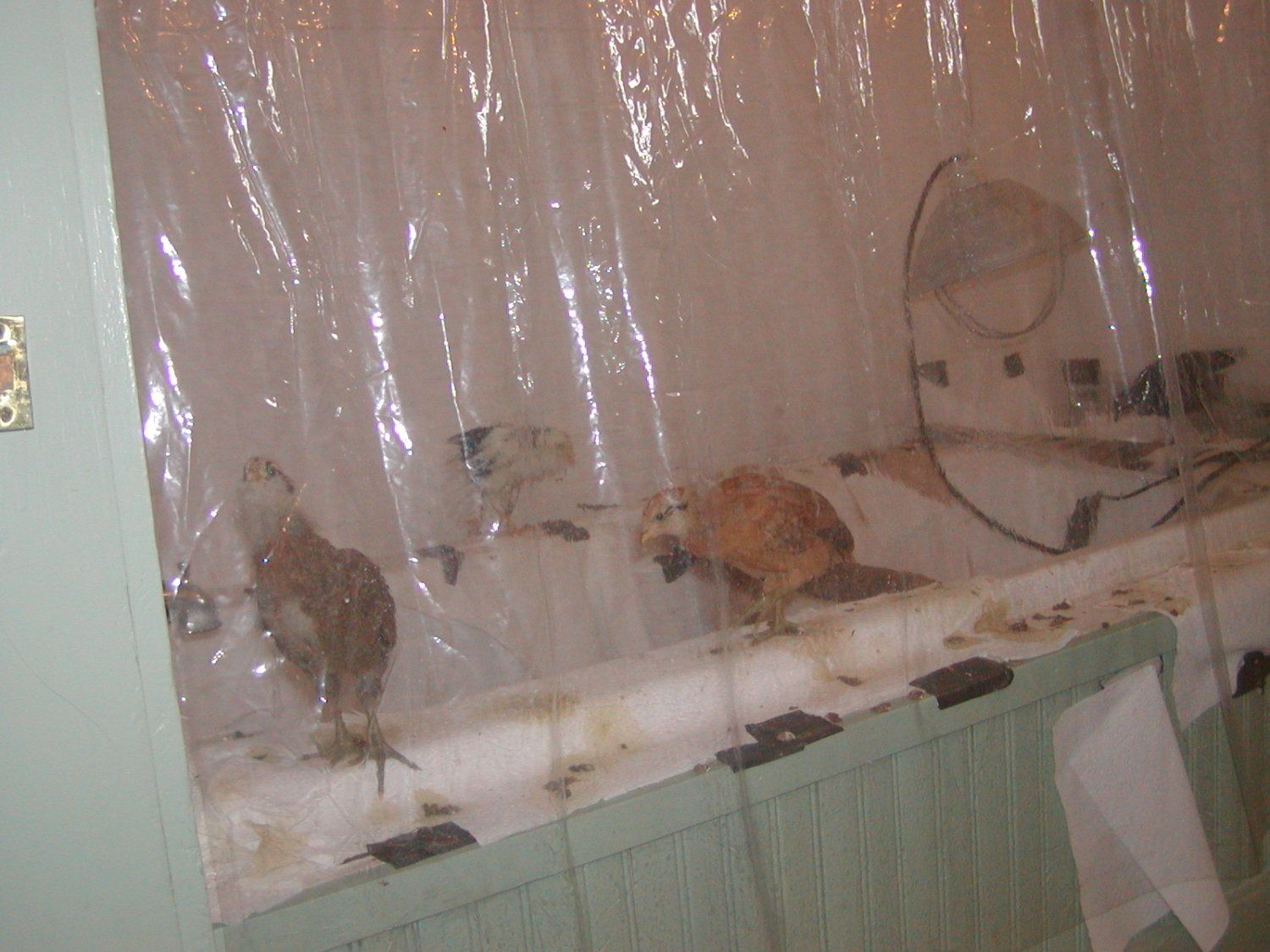 3 1/2 week old chickens ON, not IN, the tub.