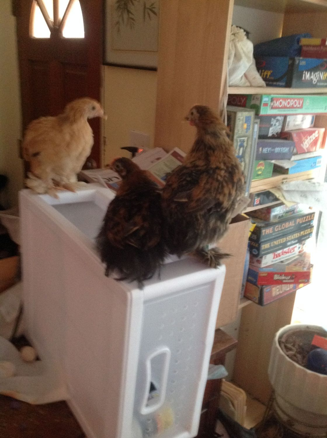 Buffy, Ego, and Sassy, the three baby Cochins, plus Wild Thing, the silkied Serama cockerel.